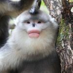 2 Days Shangri-La Tacheng Snub-nosed Monkey National Park Tour from Lijiang