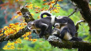 Yunnan Snub-nosed Monkey in Tacheng, Shangrila