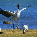 9 Days Yunnan-Guizhou Winter Birding Tour with Dianchi Lake, Caohai Lake, Nianhu Lake and Dashanbao Nature Reserve