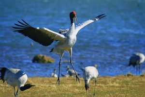 Photo Gallery of Dashanbao Black-necked Crane Nature Reserve, Zhaotong