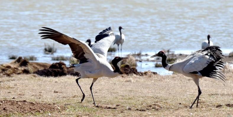 9 Days Yunnan-Guizhou Winter Birding Tour with Dianchi Lake, Caohai Lake, Nianhu Lake and Dashanbao Nature Reserve