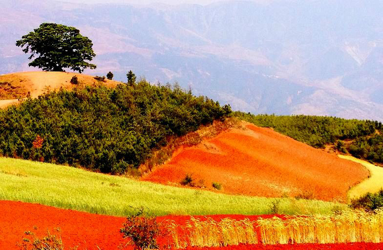 The Ancient Dragon Tree of Dongchuan Red Land, Kunming