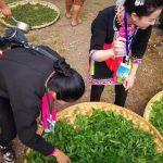 6 Days XishuangBanna Tea Mountain Hiking Tour to Bada, Zhanglang, Xiding and Nannuo Tea Mountain