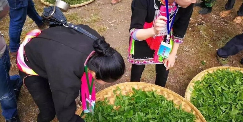 11 Days XishuangBanna and Puer Ancient Tea Culture Tour with Yiwu Mountain Tea Plantation