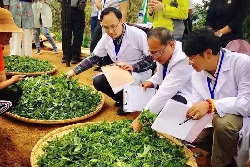 Yunnan Dianhong Black Tea Group in Fengqing County, Lincang