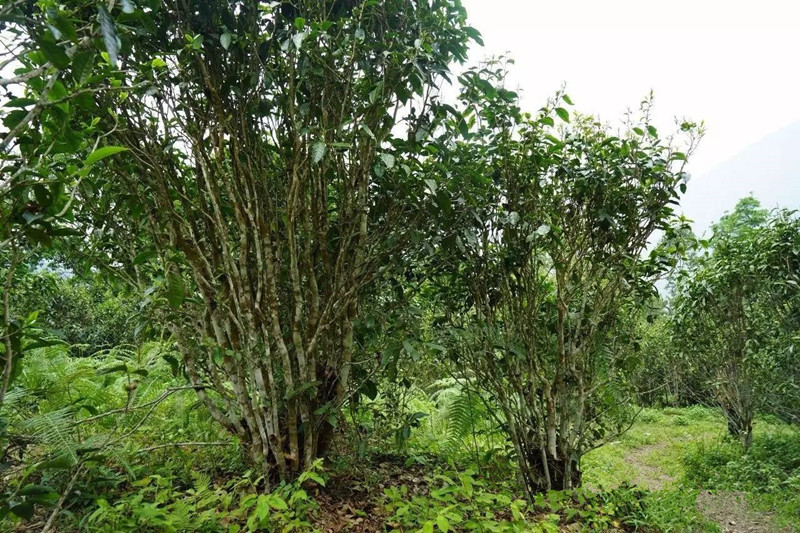 Yiwu Tea Mountain in Mengla County, Xishuangbanna
