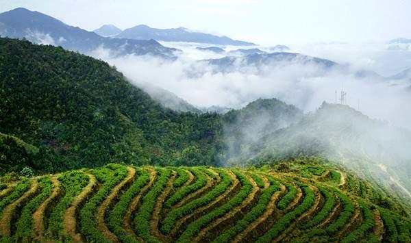 Mangbai Tea Plantation in Cangyuan County, Lincang