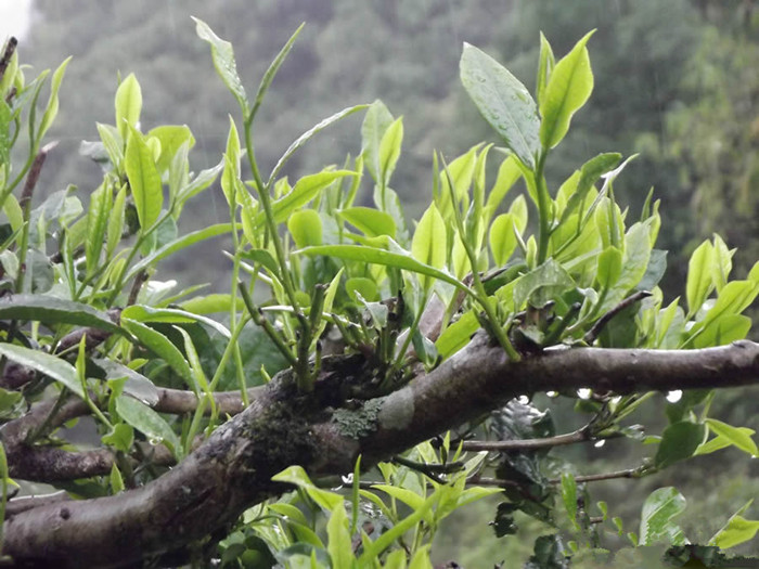 Mangzhi Tea Mountain in Mengla County, XishuangBanna