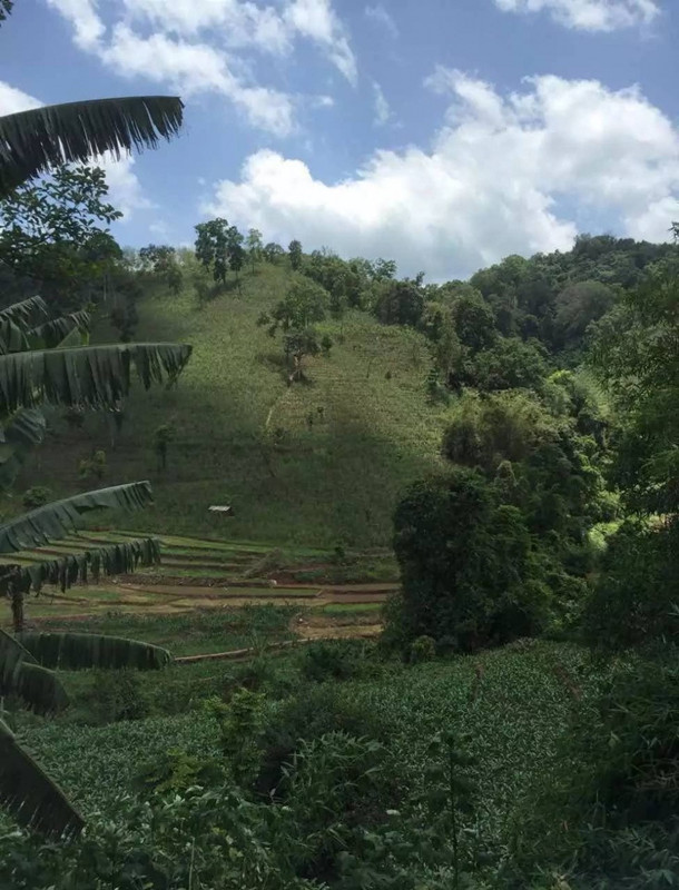 Mansong Tea Plantation in Mengla County, XishuangBanna