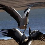 8 Days Yunnan Winter Birding Tour to Dongchuan Red Land, Nianhu Lake and Dashanbao Nature Reserve