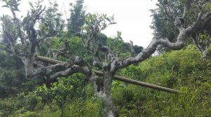 The Ancient Tea Plantations in Laoshan Mountain of Malipo County, Wenshan