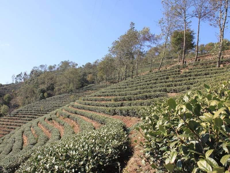 The Ancient Tea Plantations of Wuliang Mountain in Jingdong County, Puer