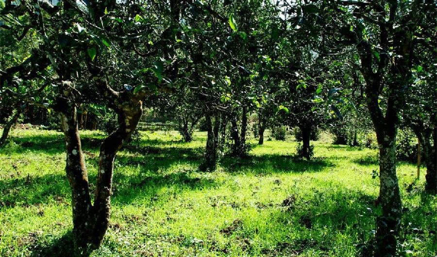 Wenshanding Tea Plantation in Jinggu County, Puer