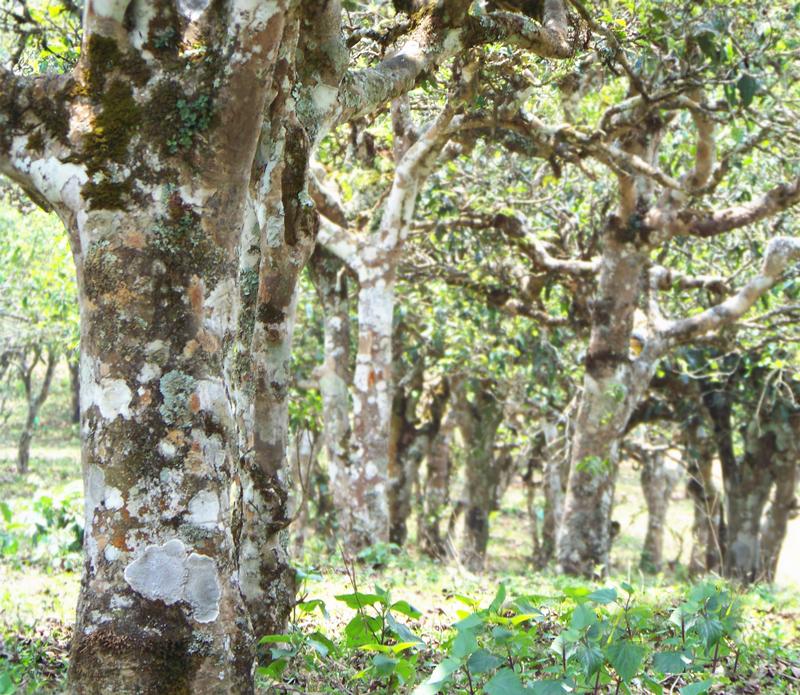 Xigui Puer Tea Plantation in Lincang City