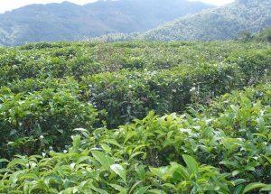 Xueshan Tea Plantation in Fengqing County, Lincang