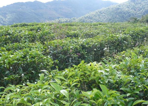 Xueshan Town Tea Plantation in Fengqing County, Lincang