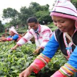 2 Days Fengqing Dianhong Black Tea Culture Tour from Dali