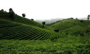 Jingmai Ancient Tea Mountain in Lancang County, Puer