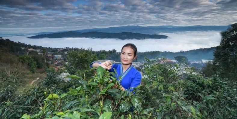 3 Days Puer XiaoAozi Coffee and Jingmai Mountain Tea Tour