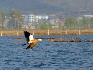 My Yunnan Bird Tour to Dashanbao Nature Reserve in Zhaotong, Nianhu Lake in Huize and Caohai Lake in Guizhou