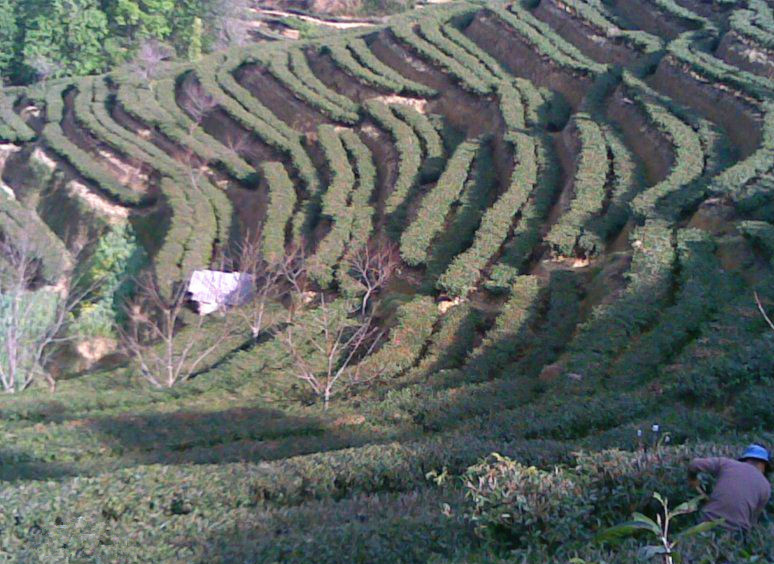 Anshi Village and Anshi Dianhong Black Tea Plantations in Fengqing County, Lincang