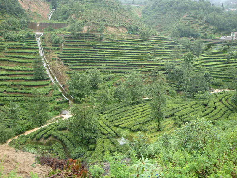 Anshi Village and Anshi Dianhong Black Tea Plantations in Fengqing County, Lincang-06