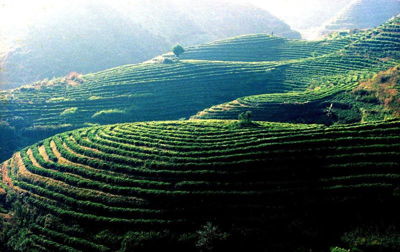 Bangdong Tea Plantations in Linxiang District, Lincang