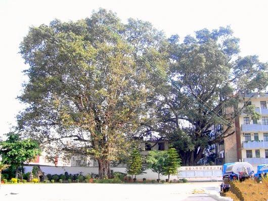 Dahouzhai Ancient Banyan Trees in Yunxian County, Lincang