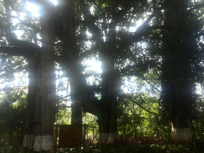 Daoshenggen Banyan Tree Park in Simao District, Puer