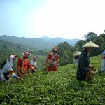 1 Day Dali Tea Culture Tour with Xiaguan Tuocha Tea Museum and Taoxigu Valley Tea Plantation