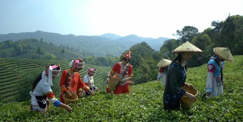 1 Day Dali Tea Culture Tour with Xiaguan Tuocha Tea Museum and Taoxigu Valley Tea Plantation