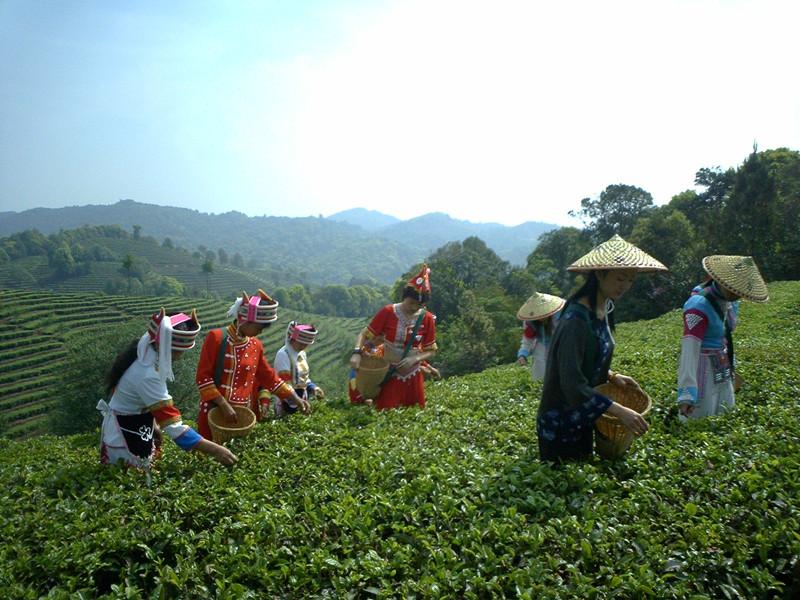 Gaoxiang Organic Tea Plantations in Eshan County, Yuxi