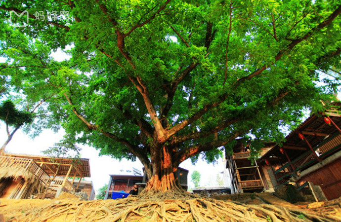 Giant Banyan Tree of Bamei Village in Guangnan County, Wenshan