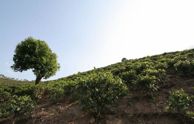 Haigong Village Tea Plantation of Dongbanshan Mountain in Mengku Town, Lincang