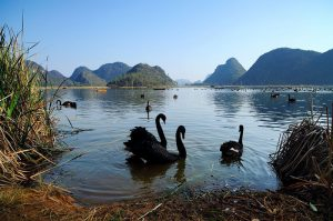 Swan lake in Puzhehei, Wenshan