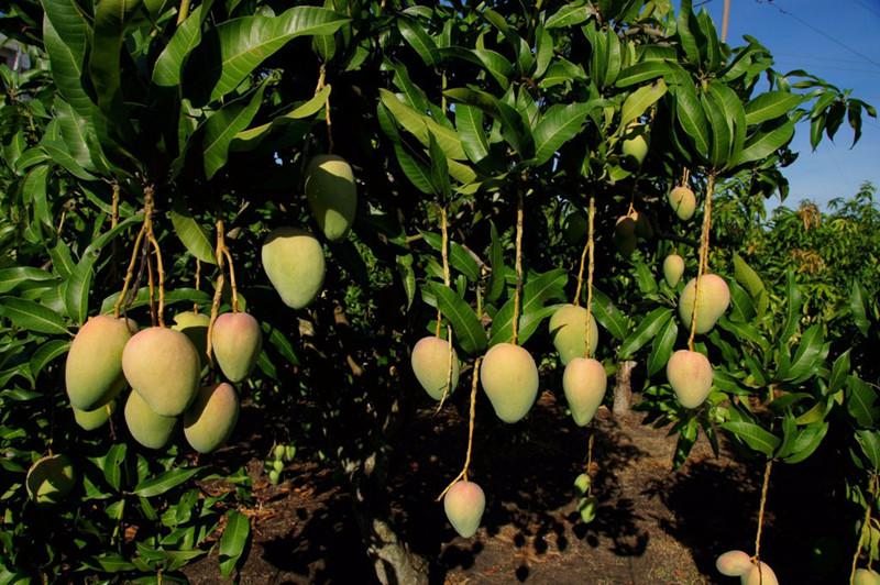 Ten thousand Mu Mango Garden in Yongde County, Lincang