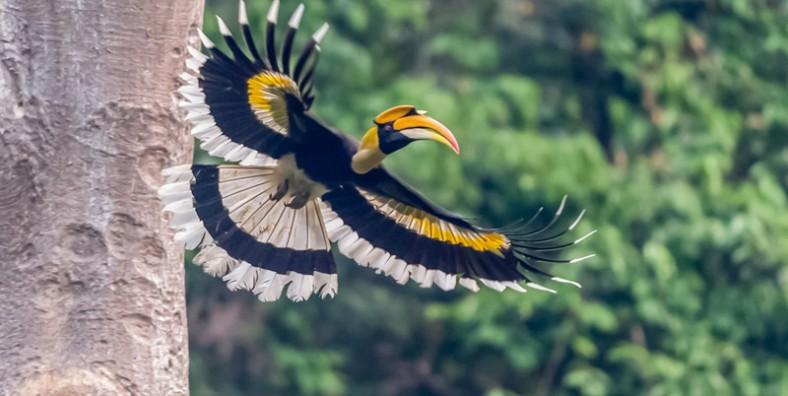1 Day Yingjiang Hornbill Valley Birding Tour