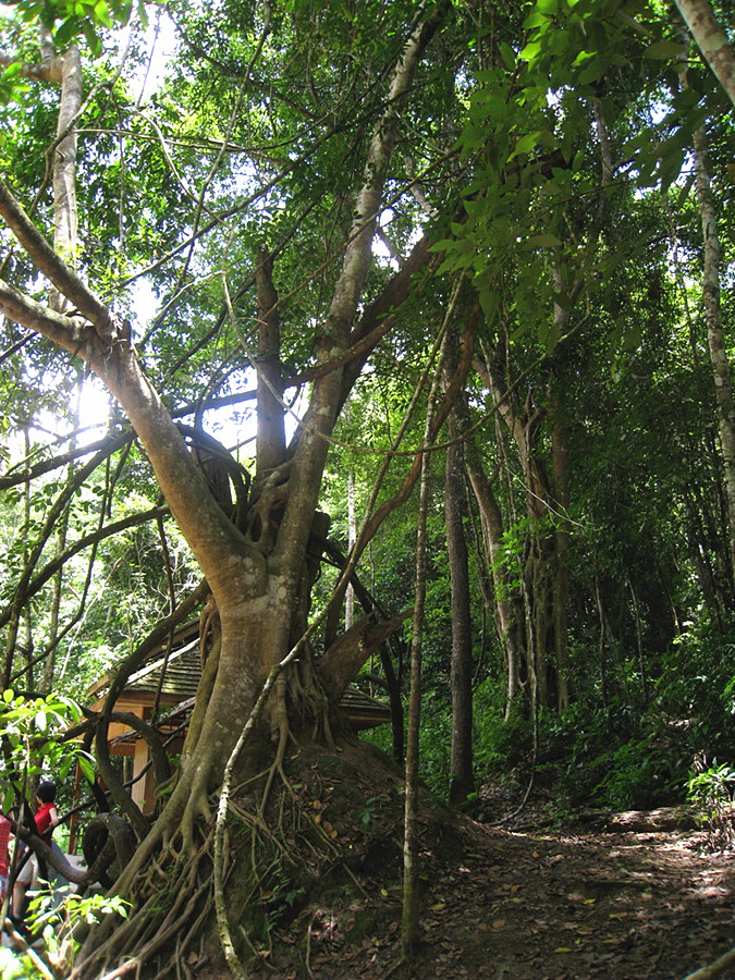 King of the Ancient Tea Tree in Menghai County, XishuangBanna