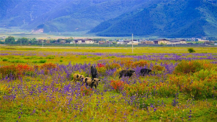 Xiaozhongdian Pasture and Flower Sea in Shangrila, Diqing