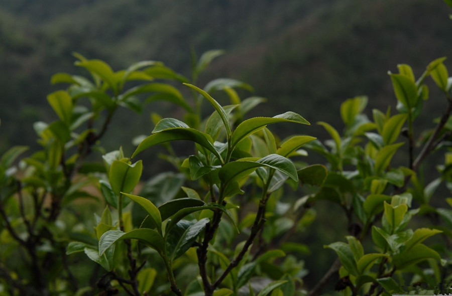 Bingdao Puer Tea Plantation in Shuangjiang County, Lincang