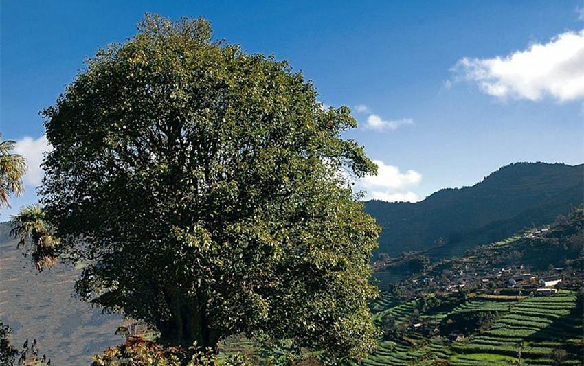 Xiangzhuqing Ancient Tea Tree in Fengqing County, Lincang