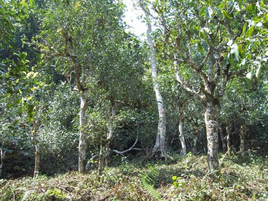 Ancient Tea Plantations of Yubishan Mountain in Jingdong County, Puer