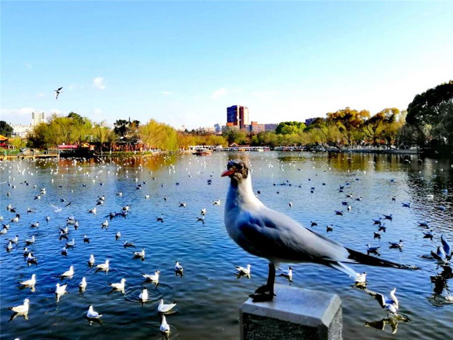 Black-headed gulls at Kunming, capital of Yunnan province