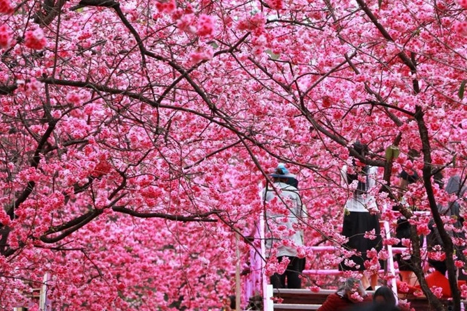 Cherry Blossom in Yunatong Park of Kunming