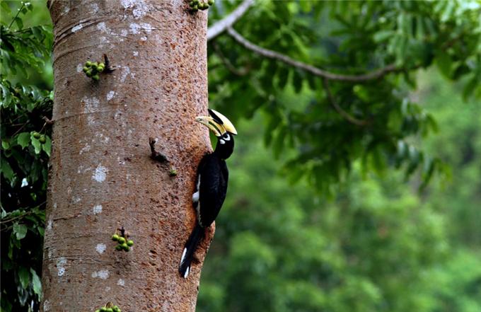 Oriental pied hornbill in Yingjiang County of Yunnan