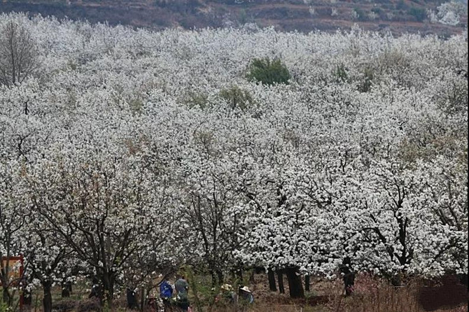 Pear flower in Chengong District of Kunming