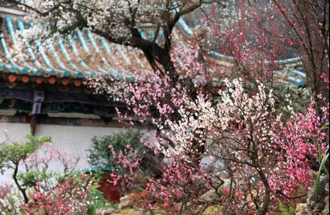 Plum blossom in Heilongtan park of Kunming