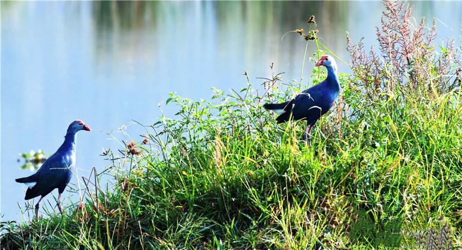 Purple swamphen in the Yilong Lake wetland park.