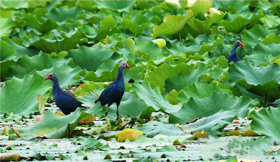 Purple swamphen in the Yilong Lake wetland park
