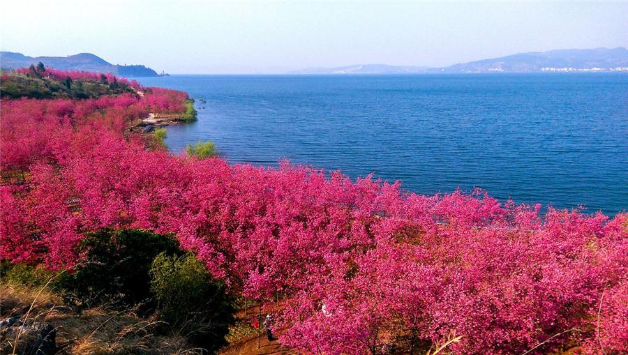 Cherry blossoms at Fuxian Lake Park, Chengjiang county, Yunnan province